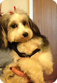 Adopt a Pet :: NJ - Suri - New Jersey, NJ - Havanese/Maltese Mix