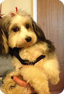 Adopt a Pet :: NJ - Suri - New Jersey, NJ - Havanese/Maltese Mix