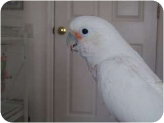 Cockatoo for Sale in Punta Gorda, Florida - Nugget