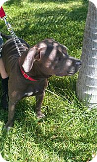 American Pit Bull Terrier/Labrador Retriever Mix Dog for adption in San Diego, California - Dina