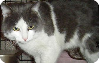 Domestic Shorthair Cat for adoption in Kensington, Maryland - Jonas