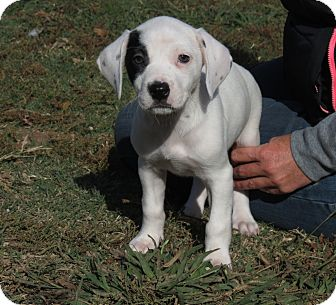 Weimaraner/English Springer Spaniel Mix Puppy for Sale in Glastonbury, Connecticut - Mistletoe~adopted~