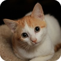 Domestic Shorthair Kitten for Sale in Albany, New York - Phoebe