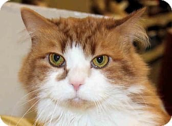 Domestic Mediumhair Cat for Sale in Morganton, North Carolina - Keke
