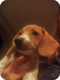 Beagle Mix Puppy for Sale in Phoenix, Arizona - Noelle
