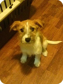 Jack Russell Terrier Mix Puppy for Sale in Westland, Michigan - Ginny