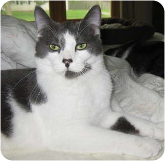 Domestic Shorthair Cat for adoption in Roseville, Minnesota - Pepper