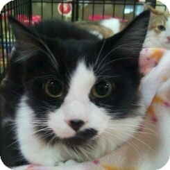 Domestic Shorthair Kitten for adoption in Modesto, California - Spencer