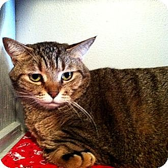 Domestic Shorthair Cat for adoption in Deerfield Beach, Florida - Butterscotch