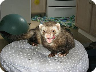 Ferret for Sale in South Hadley, Massachusetts - Davy