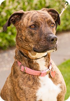 Catahoula Leopard Dog/American Pit Bull Terrier Mix Dog for adption in Santa Monica, California - Chloe