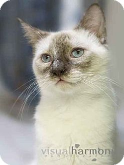 Tonkinese Cat for Sale in Phoenix, Arizona - Luna