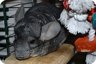 Chinchilla for Sale in Selden, New York - Siggy