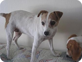 Jack Russell Terrier Dog for Sale in Atascadero, California - Molly