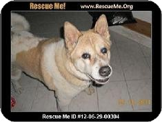 Akita Dog for Sale in Medford, Massachusetts - Tia