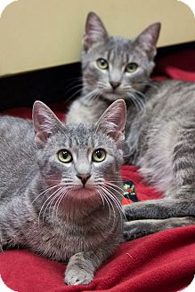 Domestic Shorthair Cat for Sale in Chicago, Illinois - Pee Wee and Stripes