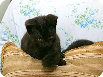 Domestic Shorthair Cat for adoption in Cleveland, Ohio - Nanuck