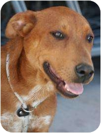 Retriever (Unknown Type)/Shepherd (Unknown Type) Mix Dog for adption in Tucson, Arizona - Zorro