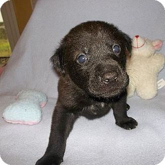 Labrador Retriever Mix Puppy for Sale in Shirley, New York - Hershey
