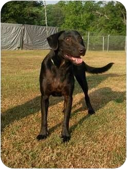 Labrador Retriever Mix Dog for adption in Molena, Georgia - Asa