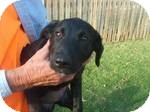 Labrador Retriever Mix Puppy for Sale in Manchester, Connecticut - Penny in Ct