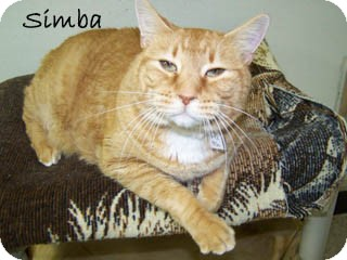 Domestic Shorthair Cat for Sale in Hamilton, Montana - simba