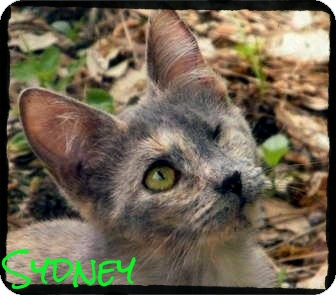 Domestic Shorthair Cat for adoption in anywhere, New Hampshire - Sydney