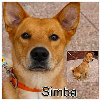 Chow Chow/Shiba Inu Mix Dog for Sale in Westland, Michigan - Simba