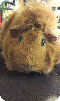 Guinea Pig for Sale in Pittsburgh, Pennsylvania - Delores