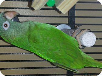 Conure for Sale in Punta Gorda, Florida - Stewie