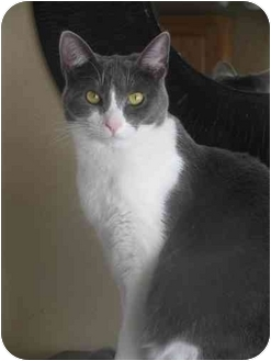 Domestic Shorthair Cat for Sale in Xenia, Ohio - Fiona