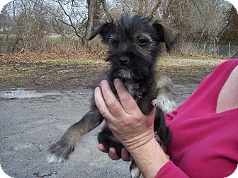 Schnauzer (Miniature) Mix Puppy for Sale in Germantown, Maryland - Caper