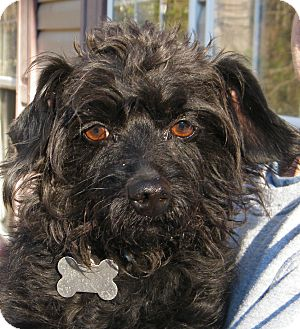 Brussels Griffon/Terrier (Unknown Type, Small) Mix Dog for Sale in shelton, Connecticut - Lil Man
