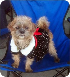 Shih Tzu/Terrier (Unknown Type, Small) Mix Dog for Sale in Los Angeles, California - LUCY