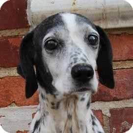 Dalmatian Mix Dog for Sale in Brooklyn, New York - Sprinkles