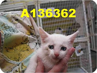 Domestic Mediumhair Kitten for Sale in Scottsdale, Arizona - Atlas- courtesy post