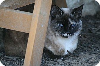 Snowshoe Cat for adoption in Columbia, Maryland - Pixie