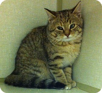 American Shorthair Kitten for adoption in Shippenville, Pennsylvania - Sheba