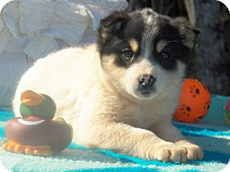 Husky/Shepherd (Unknown Type) Mix Puppy for Sale in Sussex, New Jersey - Nikki