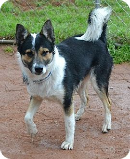 Basenji/Cattle Dog Mix Dog for Sale in Athens, Georgia - Hatch