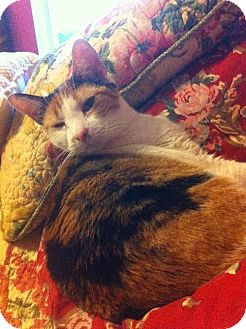 Calico Cat for adoption in Arlington, Texas - Tara