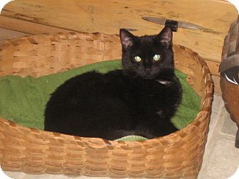 Domestic Shorthair Kitten for Sale in Emsdale (Huntsville), Ontario - Bandit - Born in August!