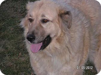 Anatolian Shepherd/Great Pyrenees Mix Dog for adption in Wooster, Ohio - Sera