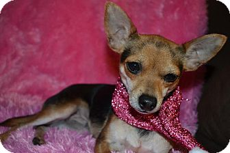 Chihuahua Dog for adption in Cranford, New Jersey - Beth