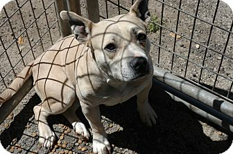 American Staffordshire Terrier Dog for adption in san antonio, Texas - Zena