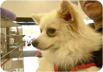 Pomeranian Mix Dog for adption in Chino, California - Coco