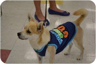Jindo Mix Dog for adption in Chino, California - Tuff