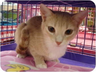 Domestic Shorthair Cat for adoption in Petersburg, Virginia - Nesme &amp; Esme