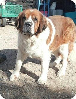 St. Bernard Dog for Sale in Glendale, Arizona - Nyla