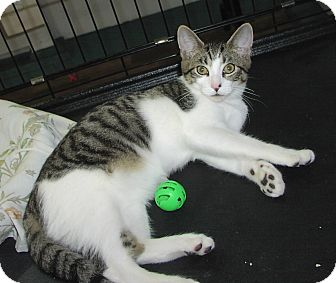 Domestic Shorthair Cat for adoption in Speonk, New York - Carl